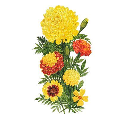 marigolds i have no problem surrounding the house with