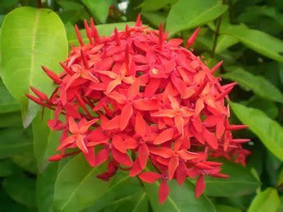 Pupuk Untuk Bunga Kenanga macam macam bunga hias yang populer di indonesia ayo