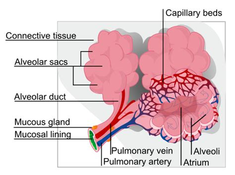 new cellular and molecular mechanisms of lung injury and injury biomechanics lab lung injury