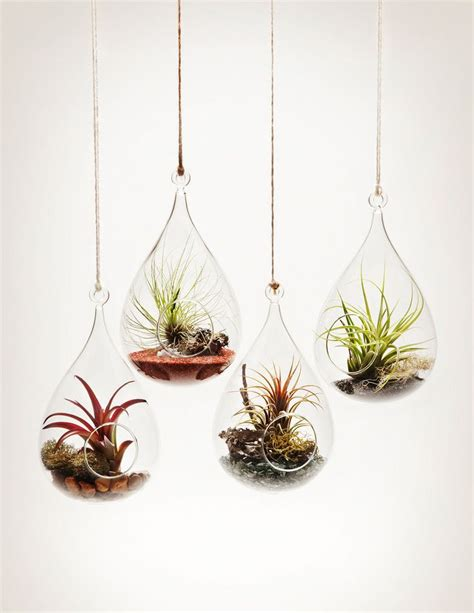 hanging air plant 1000 ideas about air plants on pinterest air plant