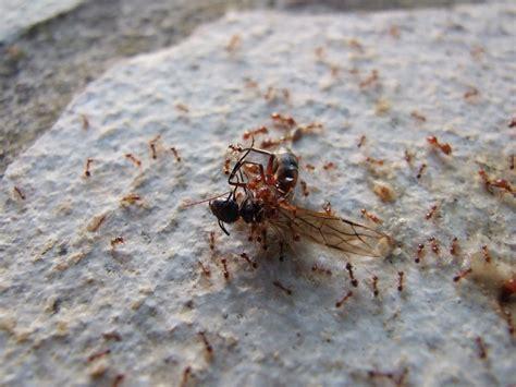 Ameisen Auf Der Terrasse 4711 by Ameisen My Azur De