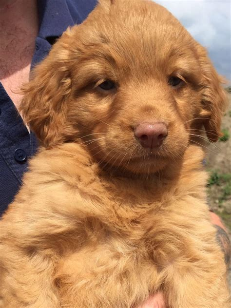 duck tolling retriever puppies for sale scotia duck tolling retriever pups for sale spalding lincolnshire pets4homes