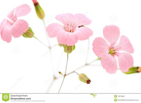 delicate pink flowers stock photography image 19972892