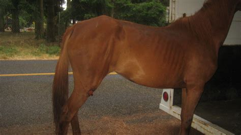 Thurston County Warrant Search Deputies Seize 14 Starving Horses In Thurston County Www Kirotv