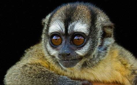 night monkey  nocturnal monkeys born  panama  tropical south america wallpaperscom