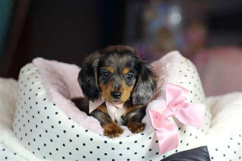 teacup dachshund puppies top 25 best teacup dachshund ideas on baby dachshund pocket beagle