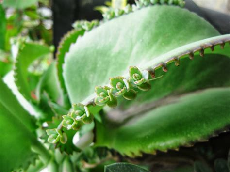 segudang khasiat daun cocor bebek bagi kesehatan tubuh