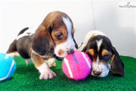 basset hound puppies near me basset hound puppy for sale near san diego california b4db5632 85b1