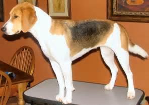photo harrier dog standard harrier dog