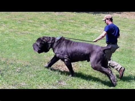 rottweiler vs bullmastiff bullmastiff funnydog tv