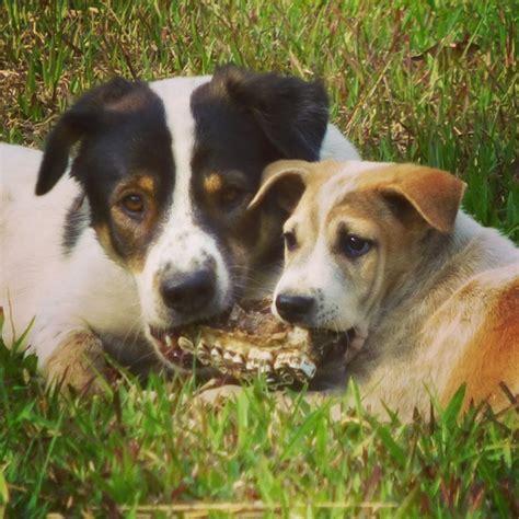 Tulang Untuk Anjing by Anjing Lucu Di Laos Yang Mana Favorit Kamu Pergidulu