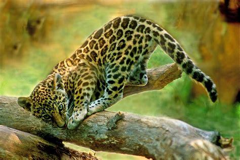 jaguar kitten jaguar kitten photograph by denny bingaman