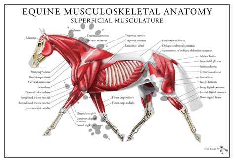 horses muscles diagram equine superficial muscular system poster