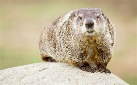 groundhog day similar groundhog in nature for groundhog day wallpaper hd