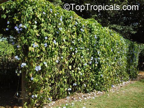 thunbergia laurifolia blue trumpet vine blue sky vine