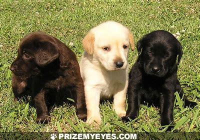 lab colors labrador puppies for sale chocolate yellow black