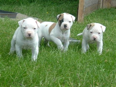 american bulldog puppies pictures american bulldog puppies breeders pictures facts diet habitat animals adda
