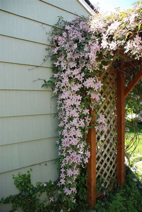 climbing plants for walls clematis trellis i like the idea of a lush climbing