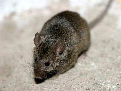 huis muis huismuis of veldmuis