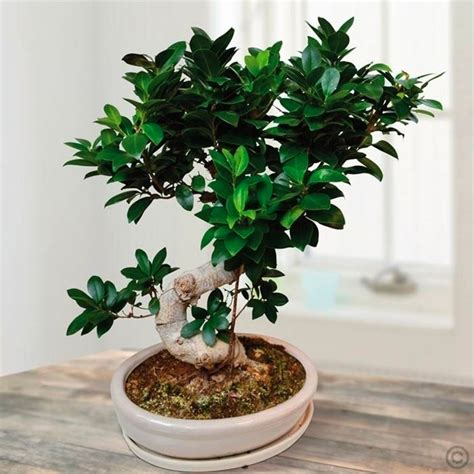 piante bonsai da interno come curare un bonsai di ficus ginseng fare bonsai