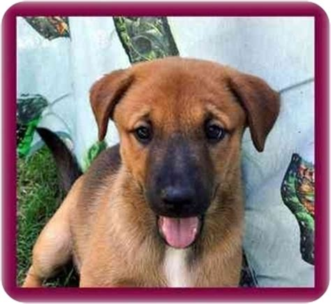 shar pei german shepherd mix puppies emily adopted puppy redding ct german shepherd shar pei mix