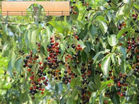 cherry tree jams black cherry jam cornish heritage ventures