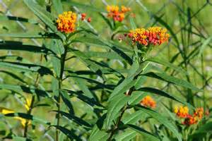 Sunset flower milkweed asclepias currassavica seeds