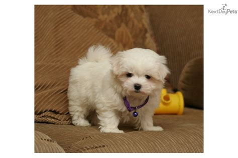 maltese puppies for sale in iowa maltese puppy for sale near sioux city iowa fe43ad96 4e21