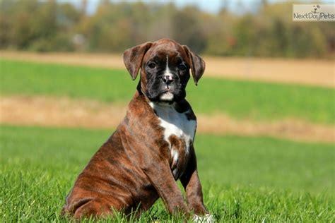 boxer puppies near me boxer puppy for sale near lancaster pennsylvania fa2d4d24 e991
