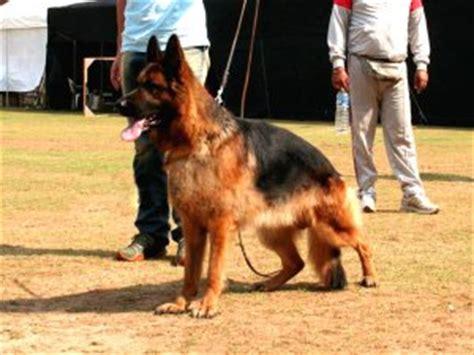 radhekennel german shepherd puppies