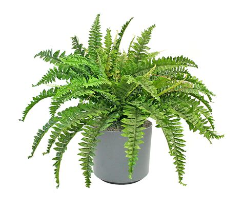 air purifying house plants  wont kill  cat