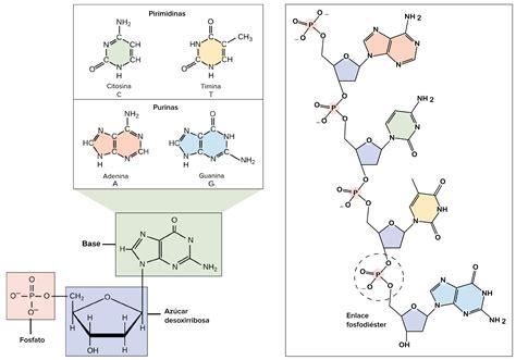 cadenas adn y arn como hago una maqueta para biologia yahoo respuestas