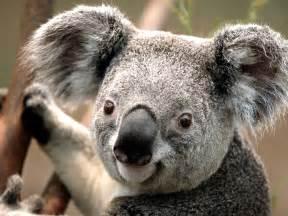 Bonita Flower Shop - koala symbolism a message spirit animal totems