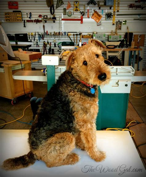 airedale cut 1000 images about it s all about piper the standard