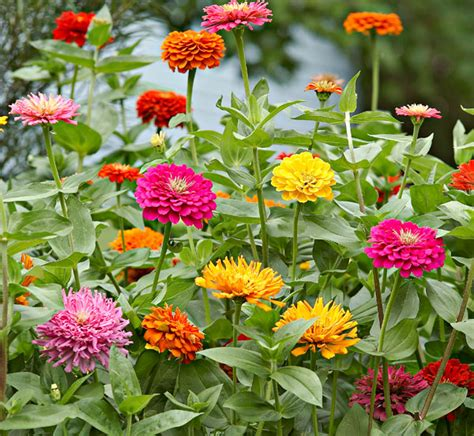 Zinnias Flower Garden The Many Faces Of Zinnias