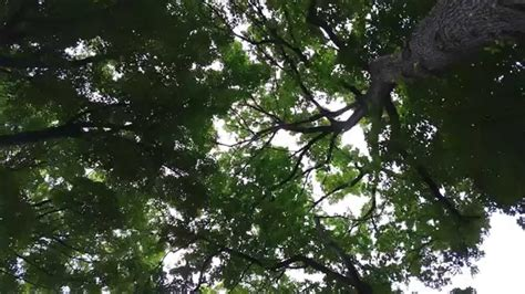 asmr relaxing nature sounds wind trees rustling birds