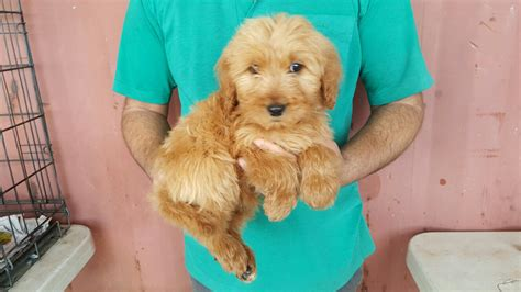 when can puppies be sold miniature groodle puppies for sale