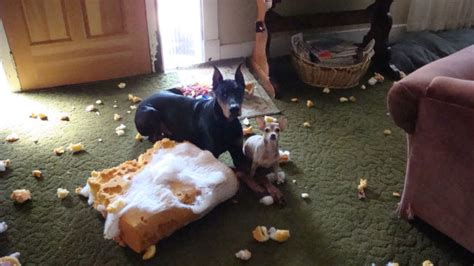how to stop puppy from chewing behavior issues archives obedience insider