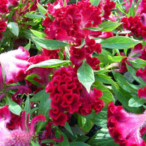fiori creste di gallo giardinaggio celosia fiori colorati in vaso