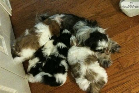 shih tzu puppies for sale in atlanta ga shih tzu puppy for sale near atlanta ea6af032 5ed1