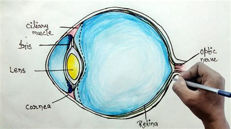 how to draw eye diagram how to draw human eye diagram for beginners