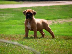 boxer colors fawn brindle coat color dogs breeds picture