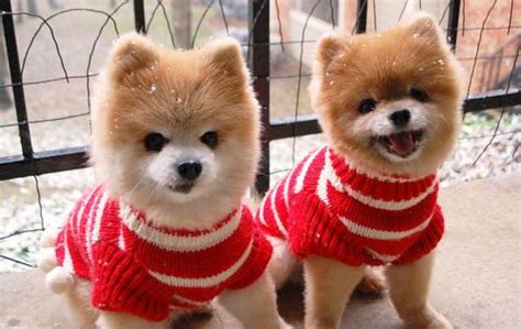 boo the dog christmas cats v puppies who wins you decide