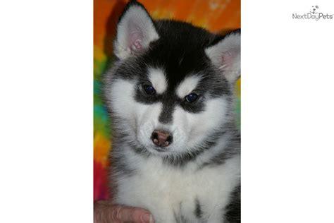 siberian husky puppies for sale in kansas siberian husky puppies for sale in missouri breeds picture
