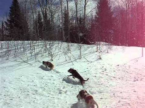 coyote hounds for sale wi hounds released on hot coyote track youtube