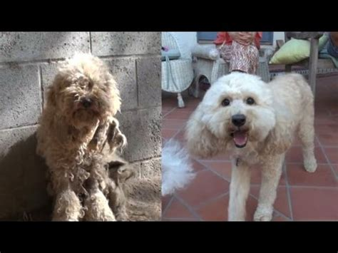 Mats In Dogs Hair by Homeless Poodle With Severely Matted Hair Looks