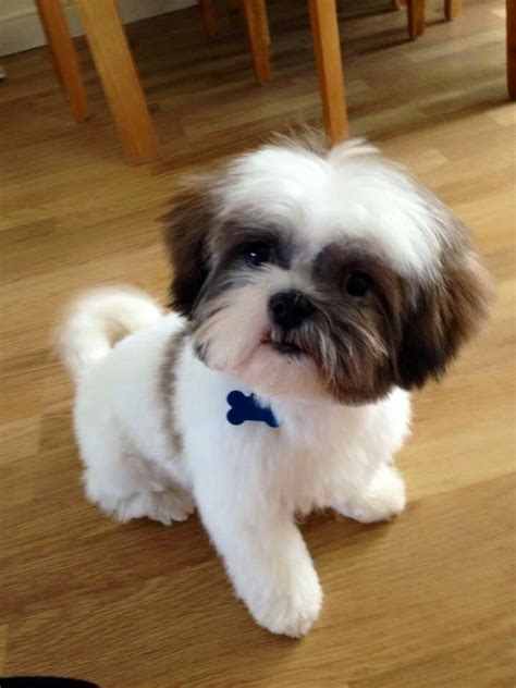 puppies to get 22 best shih tzu grooms images on shih tzus baby puppies and grooming