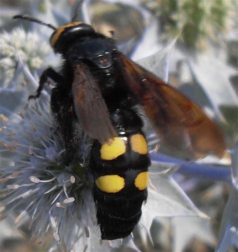 insetto nero volante vespa o calabrone gigante megascolia m flavifrons
