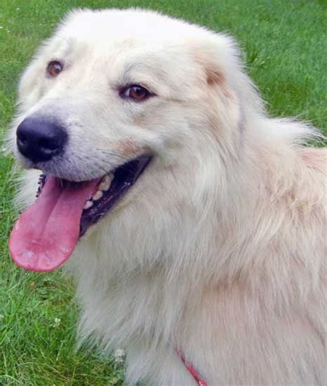 great pyrenees short hair great pyrenees golden retriever mixed long coat