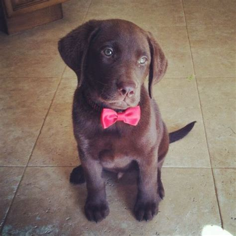 puppy bow tie chocolate lab with a bow tie louie pets bow ties puppys and what i want